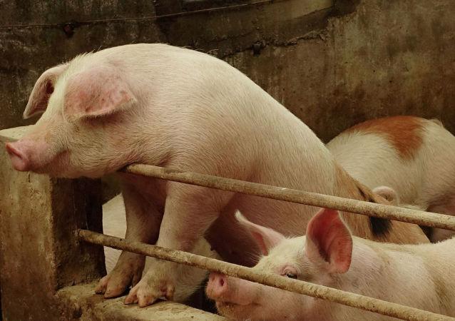 中国农业农村部:中国生猪生产已经扭转持续下滑局面
