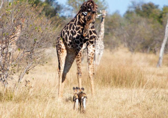 专家:长颈鹿的角可能有避雷针的作用