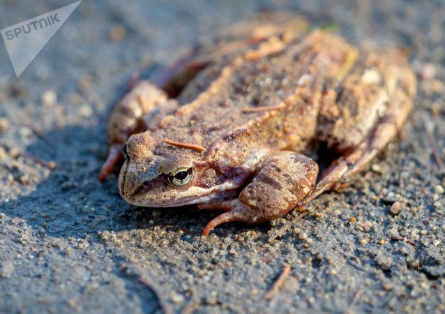 一只牛蛙六条腿 厨师不敢煮改放生