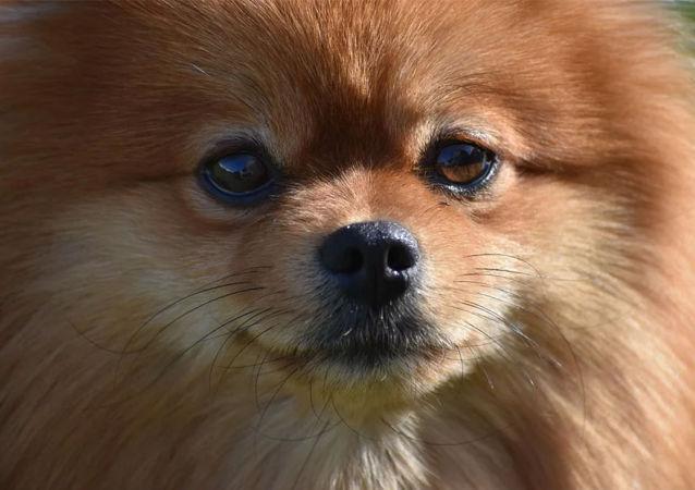 国家杜马要求俄航把俄侨民留在中国的宠物带回国