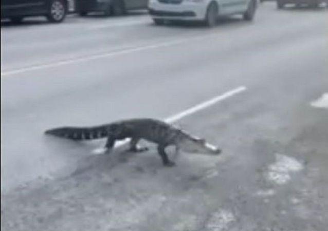 为什么鳄鱼会过马路?