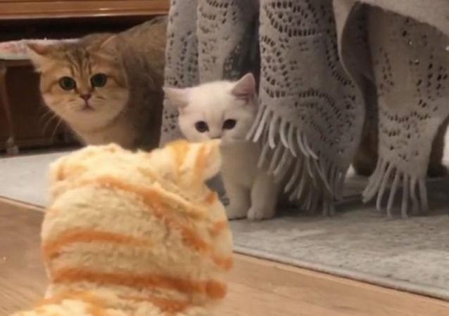 """""""喵喵叫""""测试:好奇猫咪细瞧""""机器猫"""""""