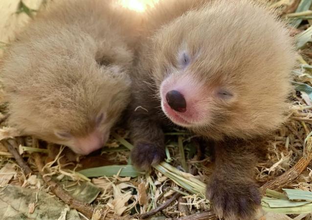 澳洲一动物园一周内两种濒危动物生下双胞胎