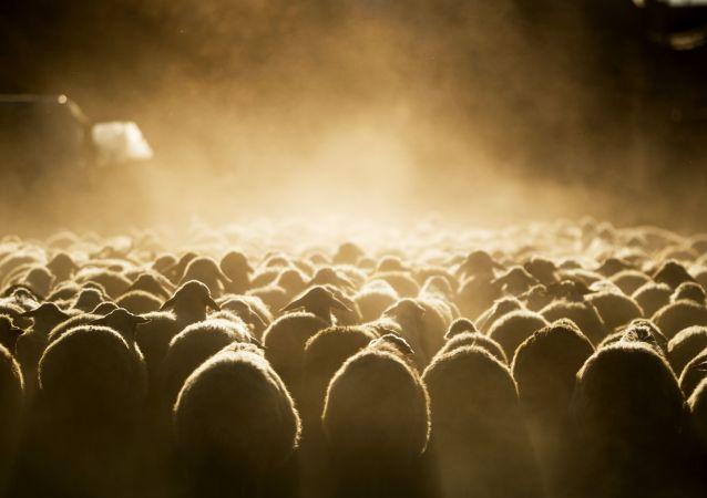 蒙古开始正式向中国移交蒙总统访华期间宣布捐赠的3万只活羊