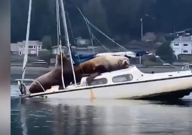海狮占据游艇
