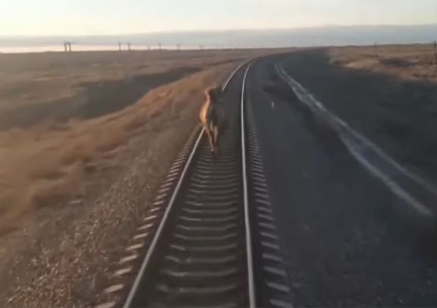 俄罗斯火车因铁道上的骆驼晚点