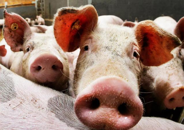 德国一家猪肉企业发生新冠病毒聚集性感染 中国海关暂停该企业对华出口