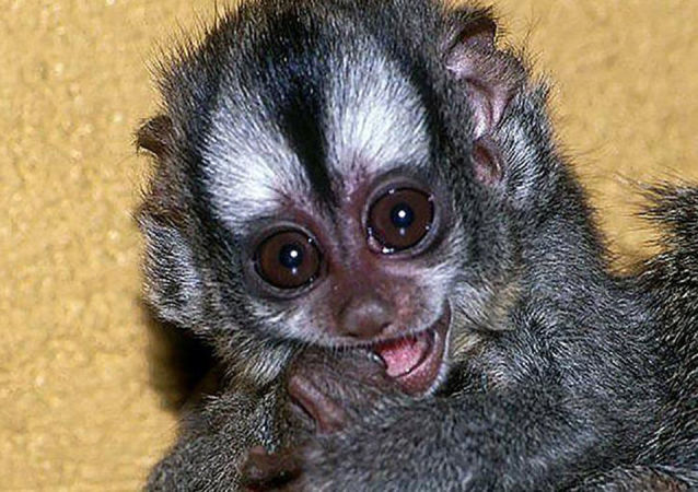 玻利维亚夜猴首次在莫斯科动物园出生