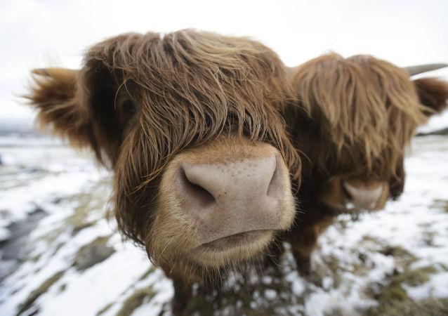 苏格兰一只逃跑的母牛令铁路封闭一小时