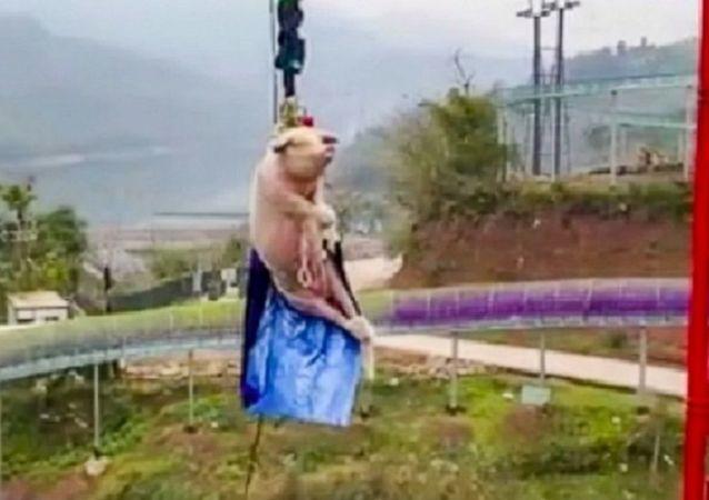 重庆一景区让肥猪蹦极68米 庆祝蹦极项目开业