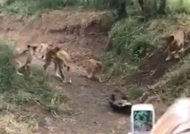 """""""平头哥""""攻击狮子的视频"""