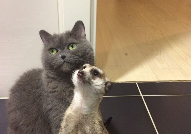 猫咪和狐獴的友谊征服互联网