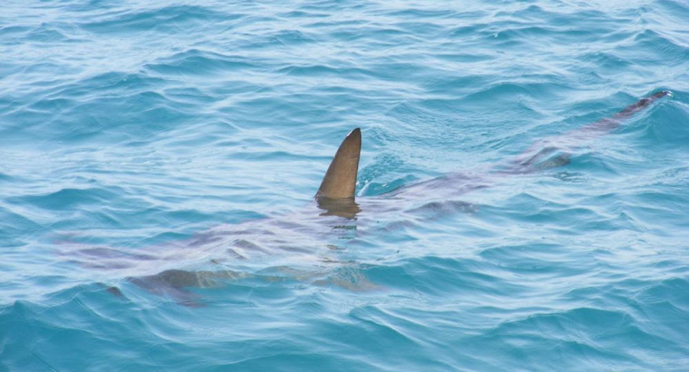 巨大鲨鱼试图从俄罗斯渔民手中抢走海鱼