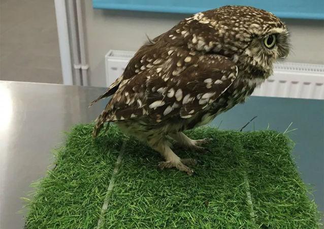 英国一只猫头鹰因为太胖飞不起来