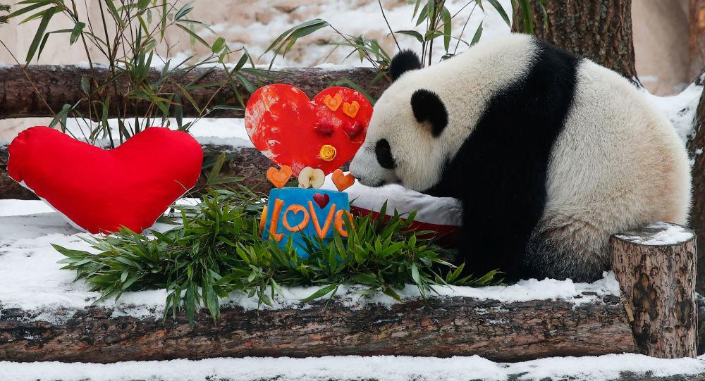 莫斯科动物园三八节为动物送上带有美味的冰雕、水果和蔬菜