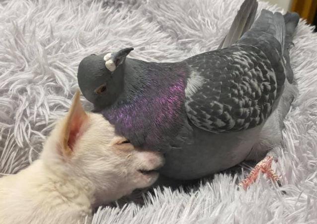 鸽子和吉娃娃的神仙友谊