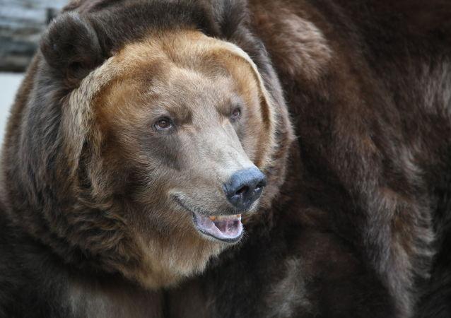 莫斯科州当局给出野外遇熊应对建议