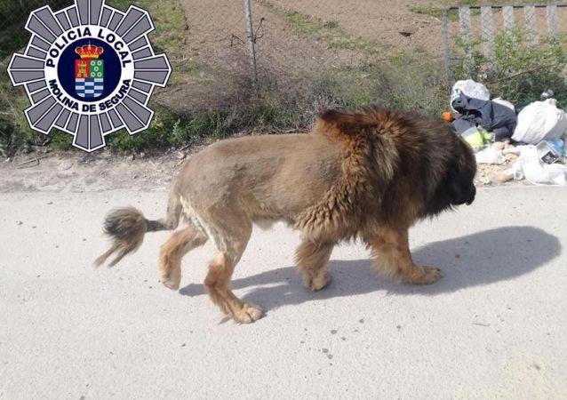 Собака-лев от испанской полиции