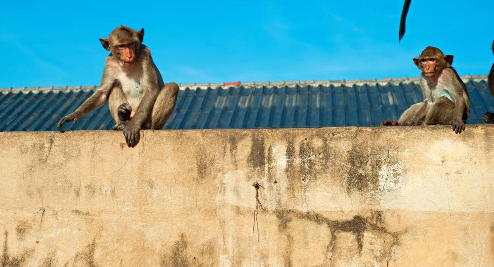 媒体:印度三劫匪和猴子组成犯罪团伙