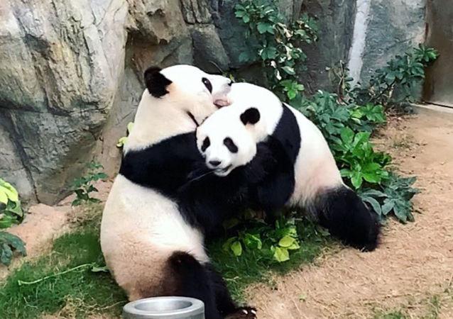 冠状病毒使香港熊猫创造奇迹