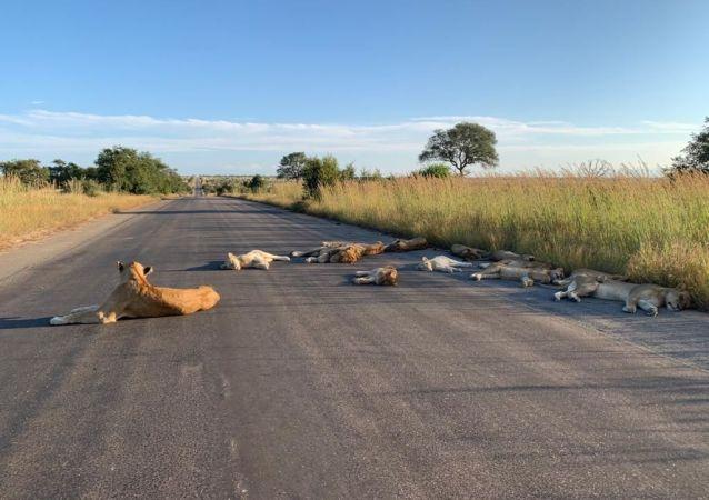 南非狮子睡在马路上