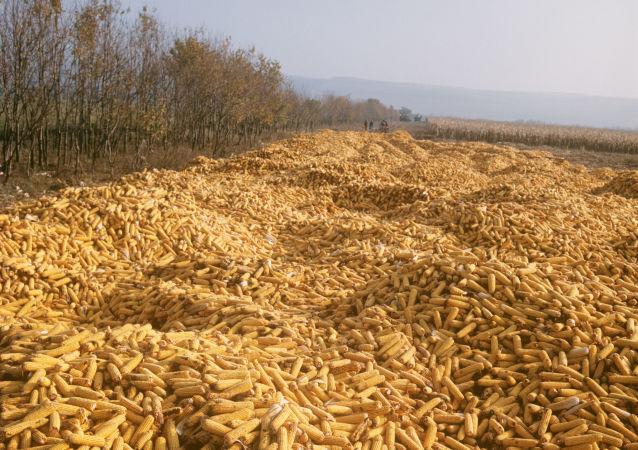 乌克兰的玉米