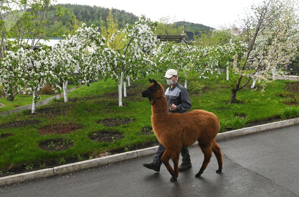 """""""罗耶夫鲁切伊""""动植物园的羊驼"""