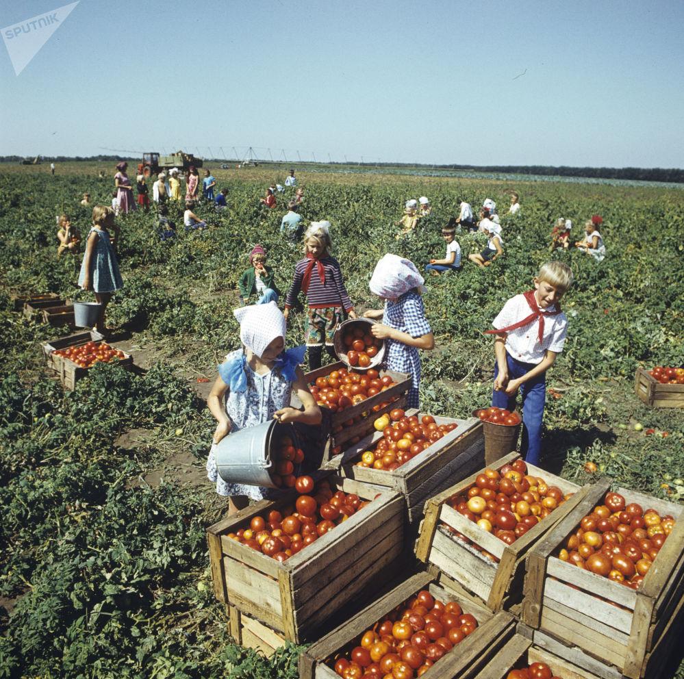 1984年少先队员们在收获西红柿