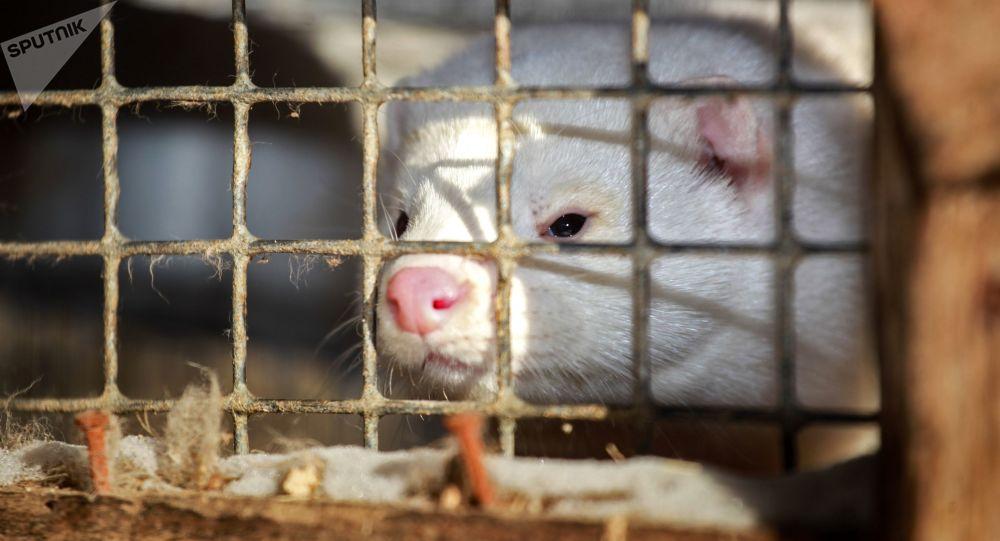荷兰政府决定扑杀发现新冠病毒的八家养殖场的数千水貂