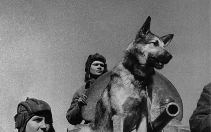 传奇扫雷犬朱利巴尔斯并未参加1945年红场阅兵