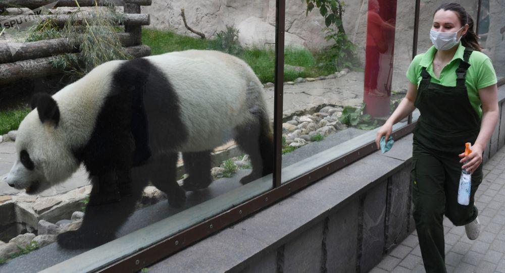 莫斯科动物园熊猫馆仍然不对外开放