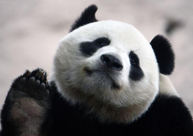 莫斯科动物园讲述中国竹子断供期间如何喂养大熊猫