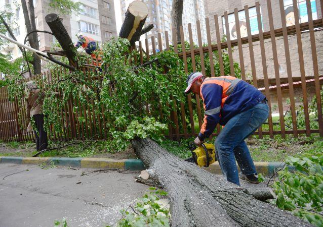 大树被强风吹倒(资料图片)