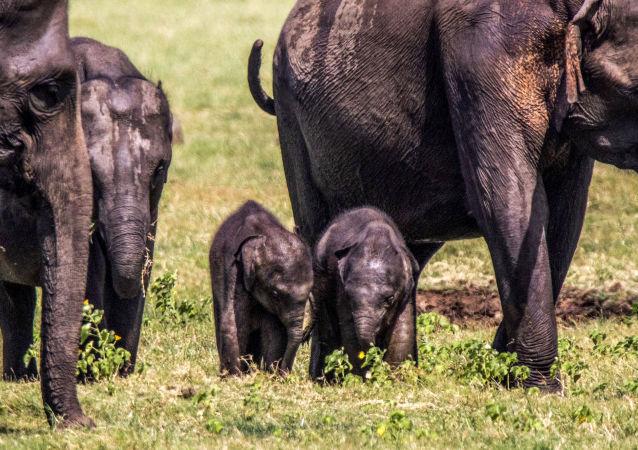 斯里兰卡发现罕见大象双胞胎